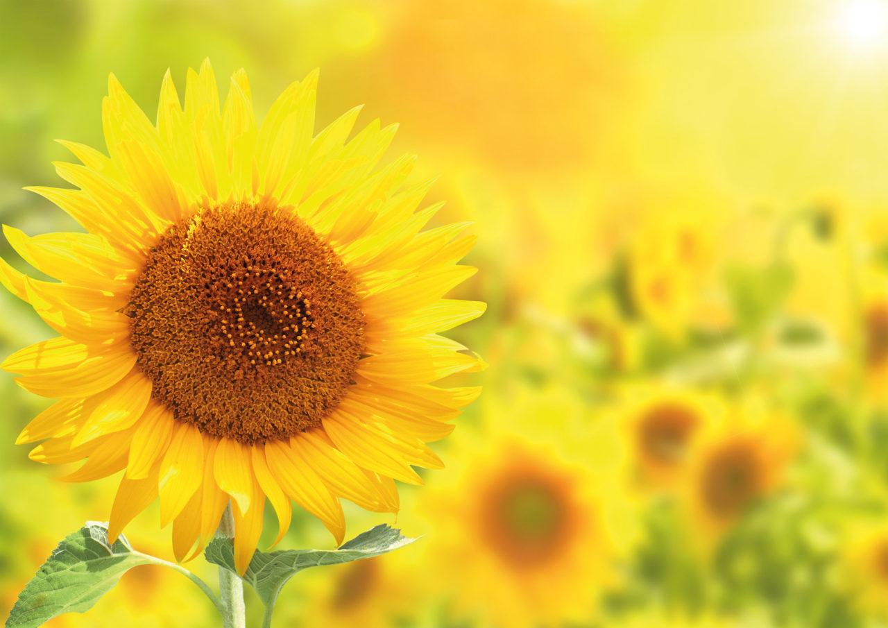 fm Umwelt Sonnenblume